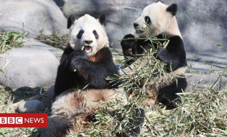 Coronavirus: Pandas leave Canada for China's bamboo