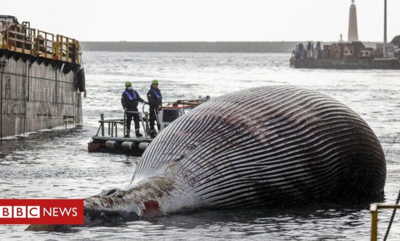 Italian coastguard recover huge whale carcass
