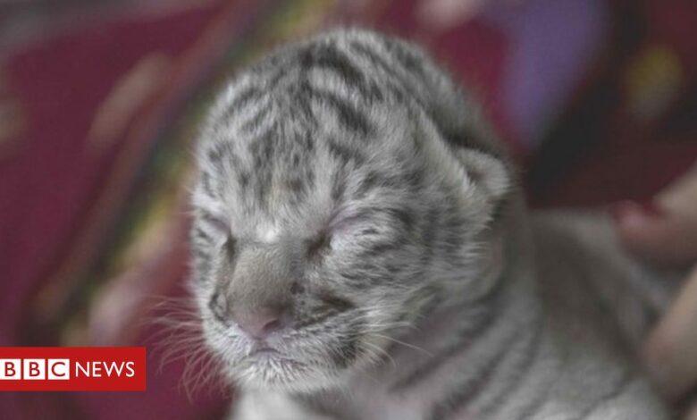 White Bengal tiger cub born at Nicaragua zoo