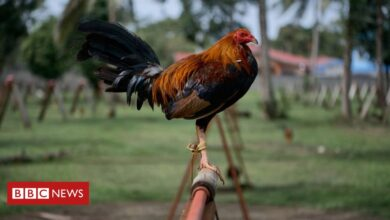 Photo of Indian man killed by his own rooster during cockfight