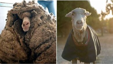 Photo of New fleece of life for Australian sheep with 35kg coat of wool