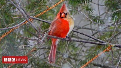Photo of Rare bird: 'Half-male, half-female' cardinal snapped in Pennsylvania